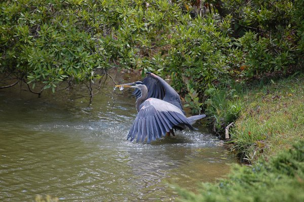 Great Blue Heron With A Prize Catch thumbnail