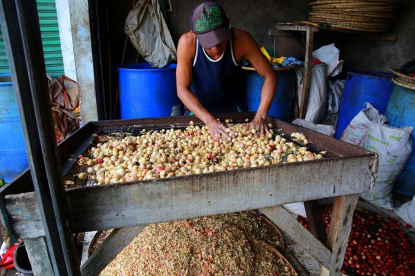 A worker busy in the nutmeg processing in Indonesia thumbnail
