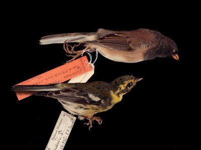 Townsend captured the Oregon dark-eyed junco, above, and the Townsend's warbler, below, named after him—for now.