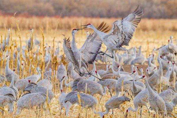 Sandhill cranes arguing. thumbnail