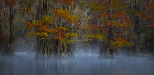 Cypress swamps in America south west are strikingly beautiful in autumn when the foliage changes colours.  This is taken from a kayak on a misty morning.  The bird was waiting for prey to go past amidst the colourful cypress trees.