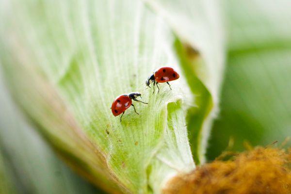 Ladybug meeting thumbnail
