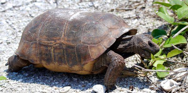Feeding Gopher Tortoise  thumbnail