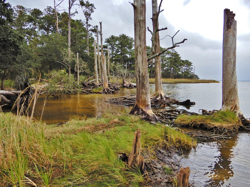 A photo of a ghost forest landscape. The photo shows dead trees lined up near the edge of water.