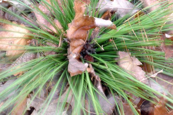 Small pine cone among pine needles thumbnail