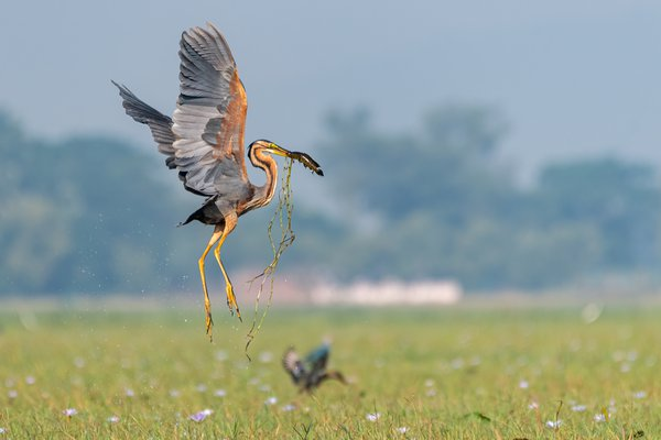 Purple heron with fish catch thumbnail