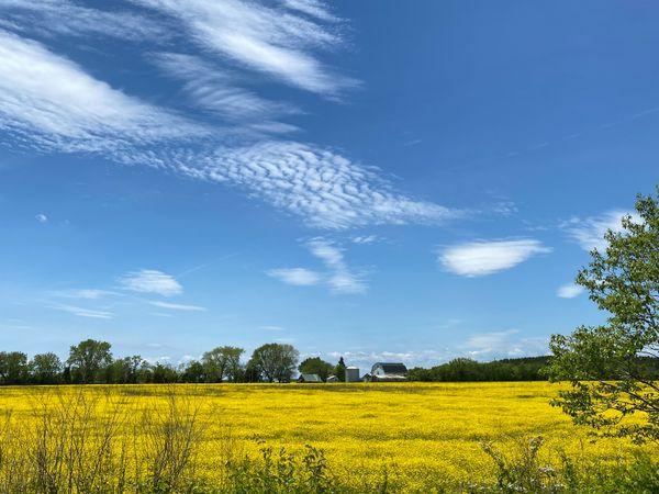 Yellow field, Bozman, MD thumbnail
