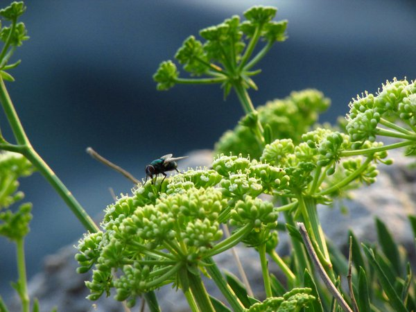 A fly on wild flowers on a rock by the sea thumbnail