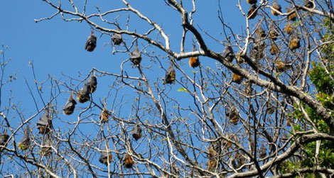 Flying foxes roost in the trees in Sydney's Royal Botanic Gardens in 2008.