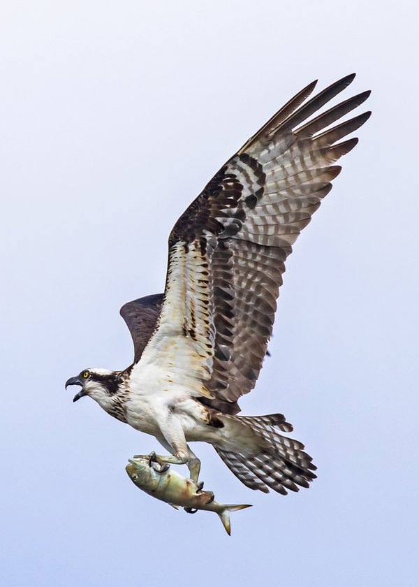 An Osprey Flies by with its Catch thumbnail