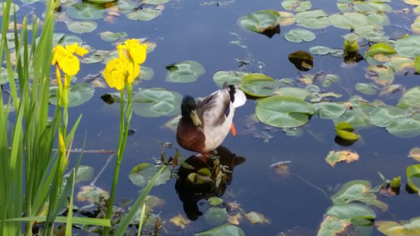 Mallard with Flowers thumbnail