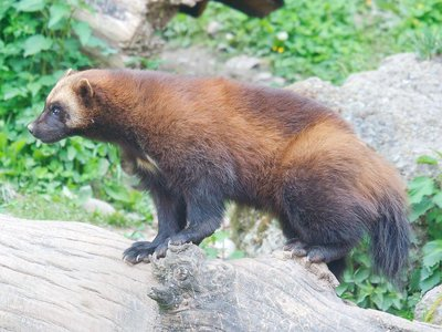 A Wolverine atop a tree log.