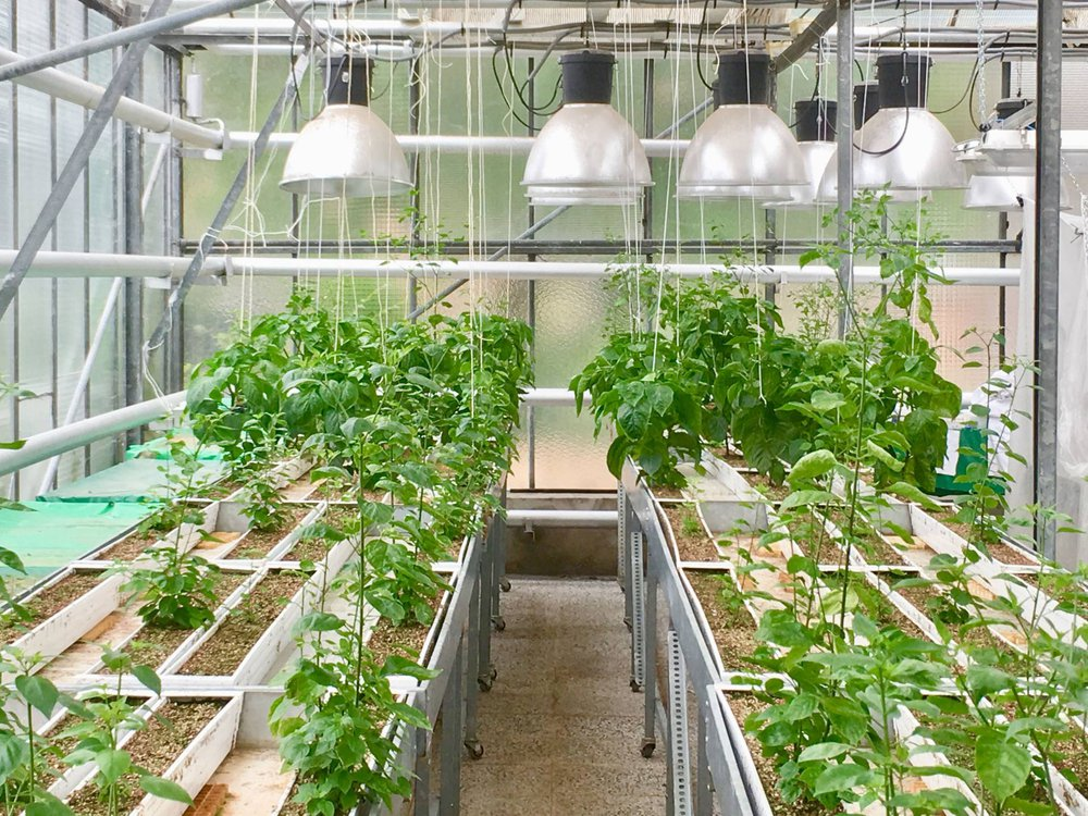 Photograph of pepper plants growing in a greenhouse