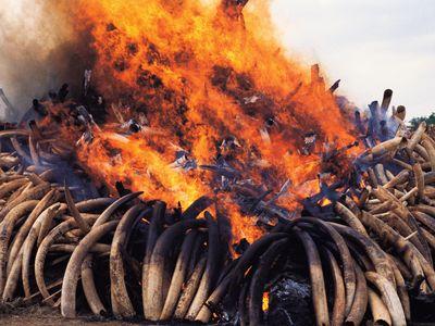 A bonfire of elephant ivory burns in Kenya's Nairobi National Park in July 1989.
