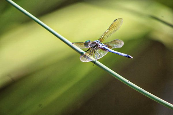 Dragonfly loving our plants thumbnail