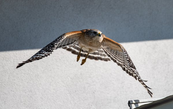 Red Shouldered Hawk thumbnail
