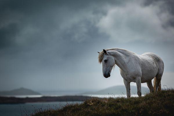 The white ponies of Eriskay. thumbnail