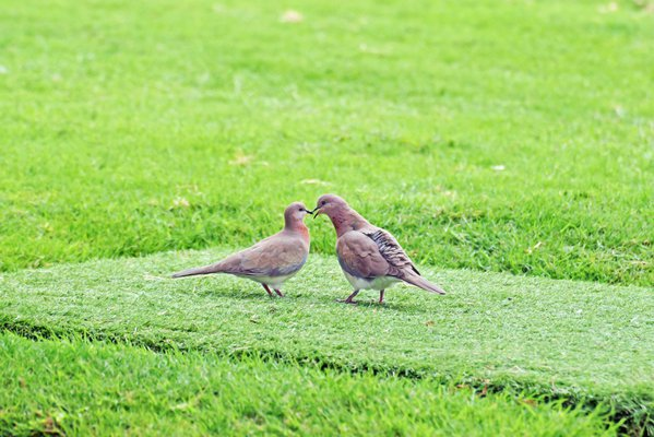A pair of Laughing Doves pecking each other and locking bills as part of their courtship ritual before mating. thumbnail