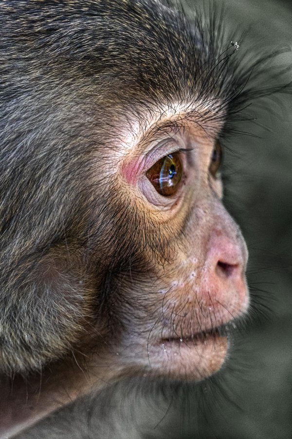 Macaque emotions thumbnail