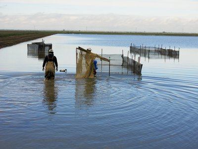 Workers with the Nigiri Project head out to test pens in the flooded rice fields near Sacramento.