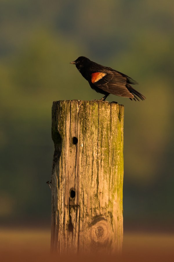 Perched Red-winged Blackbird Overlooking a Field  thumbnail