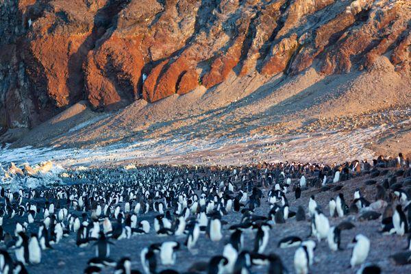 Adelie penguins in Cape Adare. Ross Sea. Antarctica thumbnail