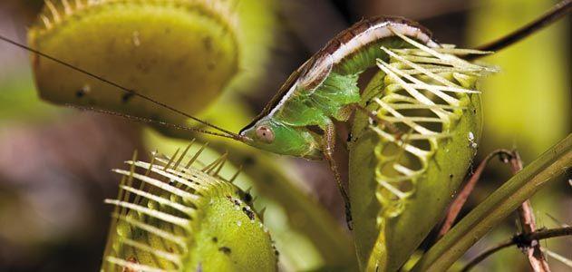 Venus flytrap captured katydid