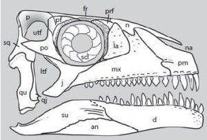 20110520083224archosauromorph-skull-300x203.jpg