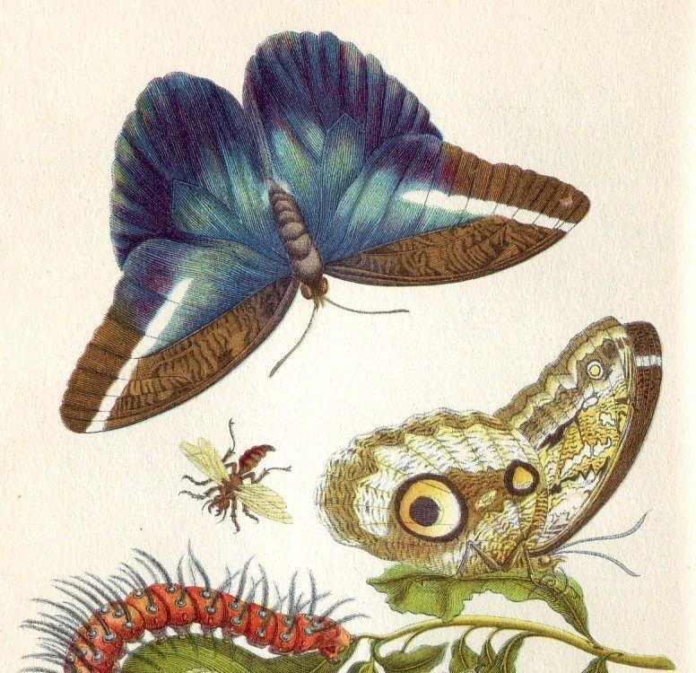 Maria Sibylla Merian illustration
