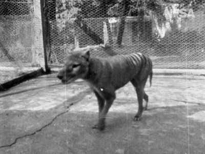 Shot in 1935, this is a still from a newly rediscovered bit of footage depicting Benjamin, the last captive thylacine on Earth. He was on display at the Beaumaris Zoo in Hobart, Tasmania.