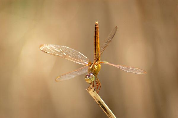 A dragonfly perches on a jute stem. thumbnail