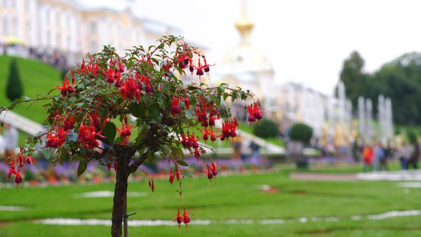 Big red fuchsia blooms in Peterhof Park against the background of fountains. thumbnail