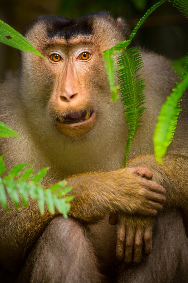 Alpha Pigtail macaque thumbnail