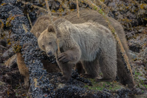 Grizzly Bear Cub Feeding in The Great BearRainforest. thumbnail