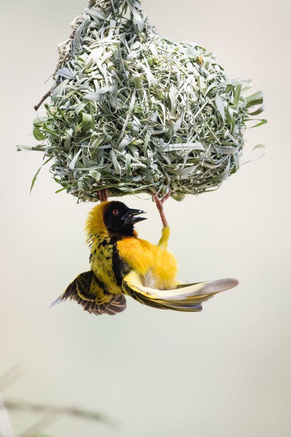 Anybody Home? - Yellow Weaver thumbnail