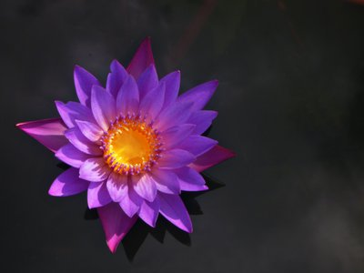 A blue Egyptian water lily, a potential inspiration for flower petals painted on a casket found in Tut's tomb.