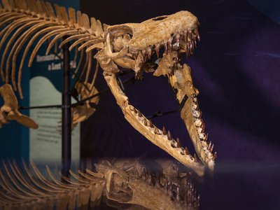The centerpiece is a cast of the reconstructed remains of Prognathodon kianda, which make up the most complete skeleton of this species found to date.
