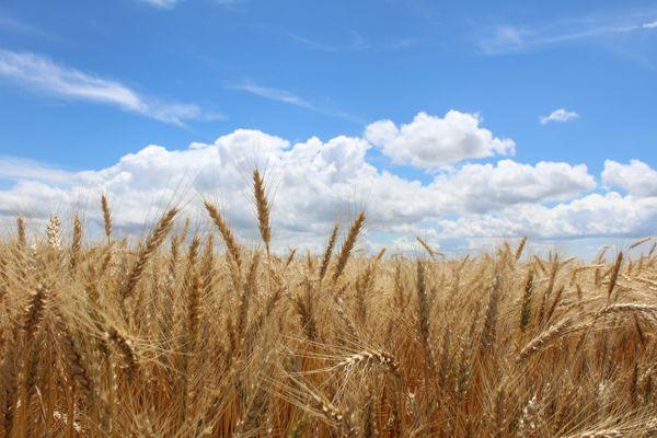 Wheat At Harvest Time thumbnail