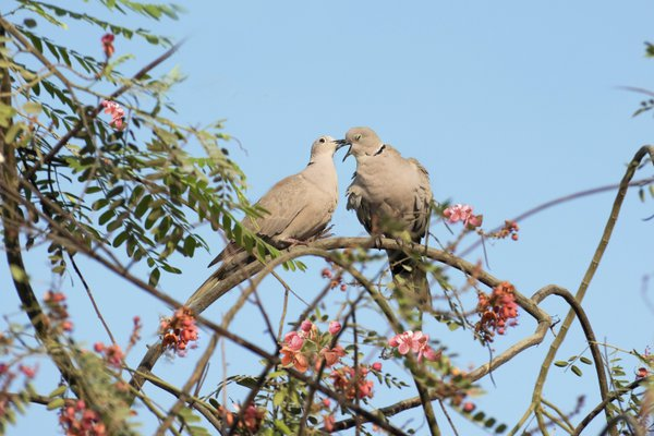 A pair of Eurasian collared dove pecking and preening each other as part of their courtship ritual before mating. thumbnail