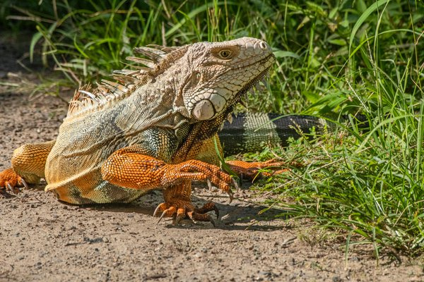 Iguana out for a walk. thumbnail