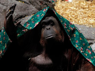 Sandra, covered with a blanket, gestures inside its cage at Buenos Aires' Zoo, December 8, 2010.