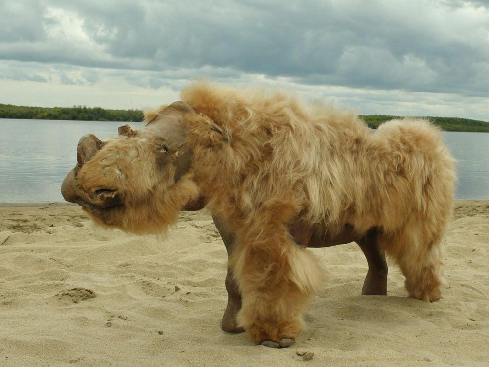 woolly rhino remains