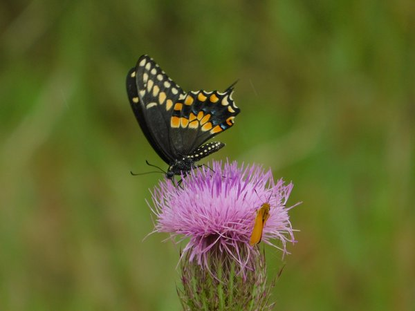 Tiger Butterfly and Moth Share Purple Thistle thumbnail