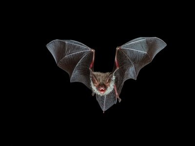 """""""And bats with baby faces in the violet light / Whistled, and beat their wings""""—T.S. Eliot, The Waste Land"""