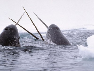 Highly social, narwhals travel in pods, often broken off by sex, and communicate via complex vocalizations that seem to be specific to their herds.