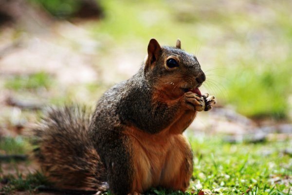 A squirrel in the park, eating a nut. thumbnail