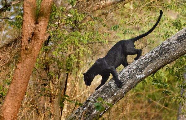 Bagheera India thumbnail