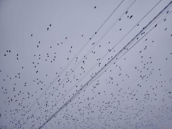 Starlings thumbnail
