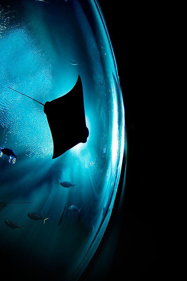 Sting Ray swimming by at the Atlanta Aquarium. thumbnail