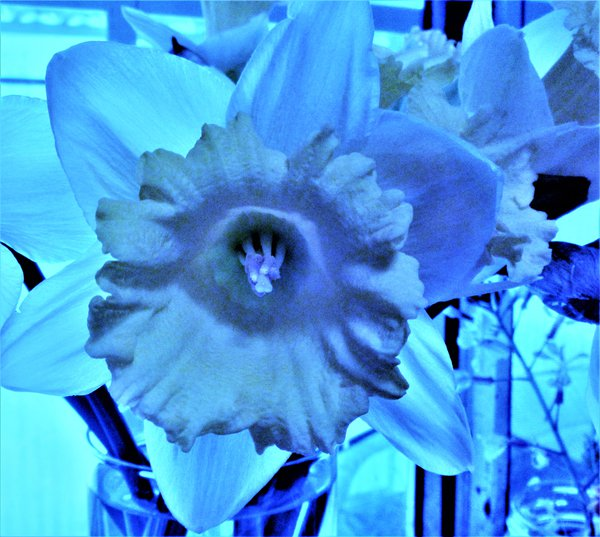 A blue daffodil. thumbnail